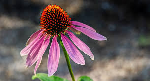 Echinacea, Rhinovirus and the Common Cold